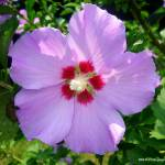 """Rose Of Sharon"" by MHP-Photography"