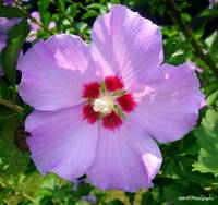 Rose Of Sharon