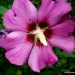 """Rose of Sharon Shrub"" by MHP-Photography"