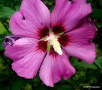 Rose of Sharon Shrub