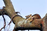 treed raccoon