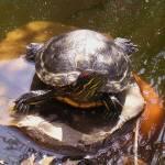 """Turtle, turtle!"" by Hostilefay"