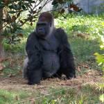 """""""Gorilla"""" by jjohns31"""