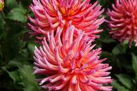 Pink,Purple,Red Striped Dahlia