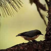 Pygmy Nuthatch 5366