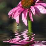 """Pink Cone Flower"" by tricia"
