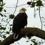 """""""Bald Eagle"""" by Laurel"""