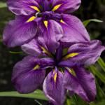 """""""Purple and Orange Irises"""" by cferrin"""