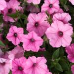 """Pink Petunias"" by cferrin"