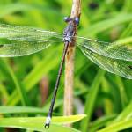 """Damselfly Close-Up"" by feagans_photography"