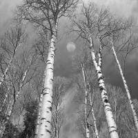 """Towering Aspen Trees in Black and White"" by lightningman"