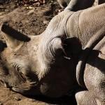 """""""Rhino"""" by karanichole"""
