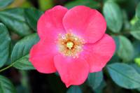 Pink Ground Cover Rose