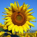 """_MG_0392_sunflowers - Sunflowers With Insects"" by johnrochaphoto"