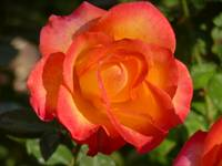Red Highlighted Rose