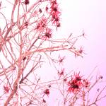 """Coral Tree"" by Rachelheath"