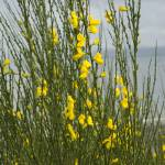 """Coastal Flowers at Bainbridge"" by LanceIFitzsimmons"