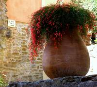 Red Flowers in Large Clay Pot