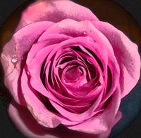 Wedding Rose Watercolour Deep