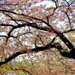 """cherry tree"" by moonlessnight97"
