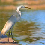 """Great white Egret"" by nancielaing"
