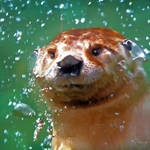 """Peek a Boo Otter"" by nancielaing"