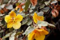 Fremontodendron - California flannel bush