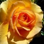 """yellowrose"" by naturefantasy"