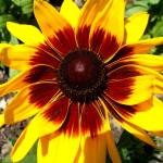 """blackeyedsusan"" by naturefantasy"