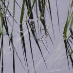 """Cat Tails Reflection"" by DonBakerPhotography"