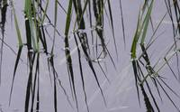 Cat Tails Reflection