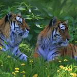 """""""Siberian Tigers"""" by Dullinger"""