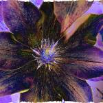 """clematis"" by naturefantasy"