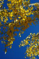 Autumn Gold     0087
