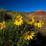 """Painted Hills Wildflowers_1"" by aphimages"