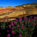 """Painted Hills Wildflowers_2"" by aphimages"