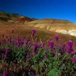 """Painted Hills Wildflowers_3"" by aphimages"