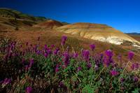 Painted Hills Wildflowers_3