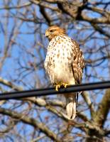 Hawk on a high wire