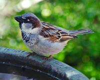 House Sparrow on the Bird Bath