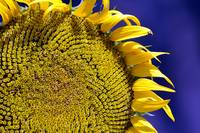 Large Sunflower Against Blue in Macro