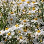 """""""Daisies"""" by karine_gagnon3"""