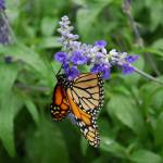 """Monarch Butterfly Suspended from Flower"" by panoramic"