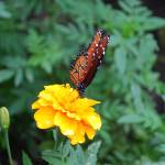 """Monach Butterfly on Yellow Rose"" by panoramic"