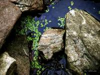 Duckweed on the Rocks