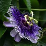 """Passion Flower"" by ImBaron"