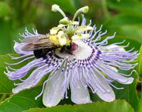 Bee on Passion Flower