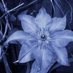 """Clematis in Cyanotype"" by CurrieRimaging"