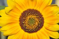 Sunflower in July