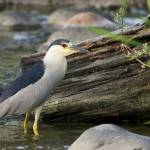 """Night Heron"" by LarryBohlin"